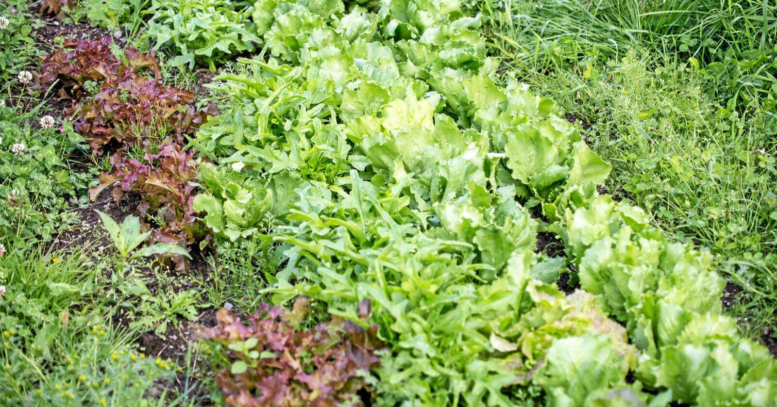 Grønnsaker: Det aller meste av grønnsaksfrøene som blir brukt i Norge er importert. Foto: Erling Fløistad / Nibio