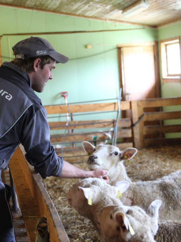OPTIMIST: Torgeir Hermanstad fra Harran i Trøndelag ser mulighetene i stedet for utfordringene i sauedrifta, og stortrives med jobben. Med seg på laget har han kjæresten Marte Reitan.