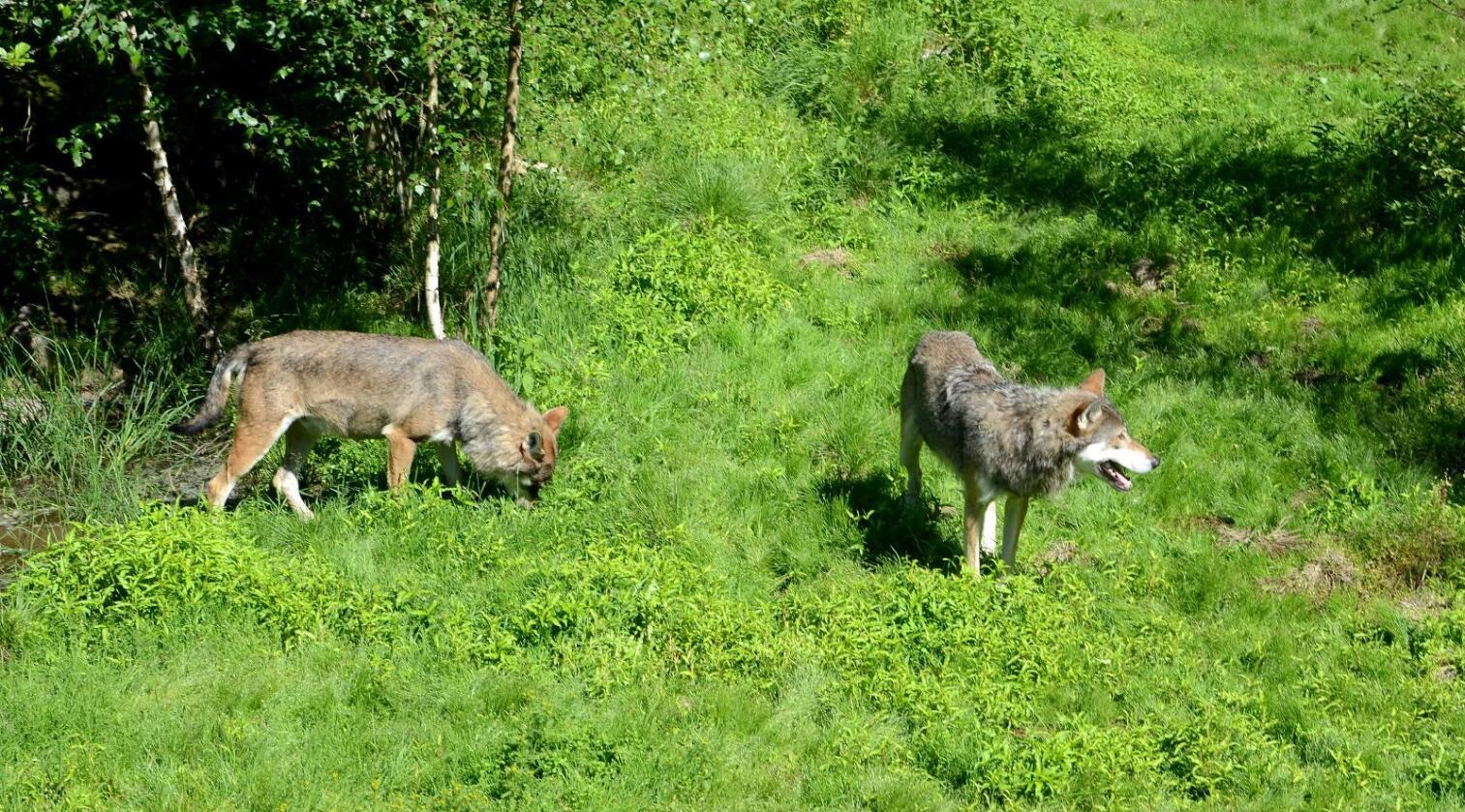 Det ble født ulvekull i de helnorske ulverevirene Osdalen, Julussa og Letjenna i 2016. De foreløpige statusrapportene er ment å gi et innblikk i arbeidet som er utført så langt, og hva som er registrert. (Arkivfoto fra Nordens Ark i Sverige)