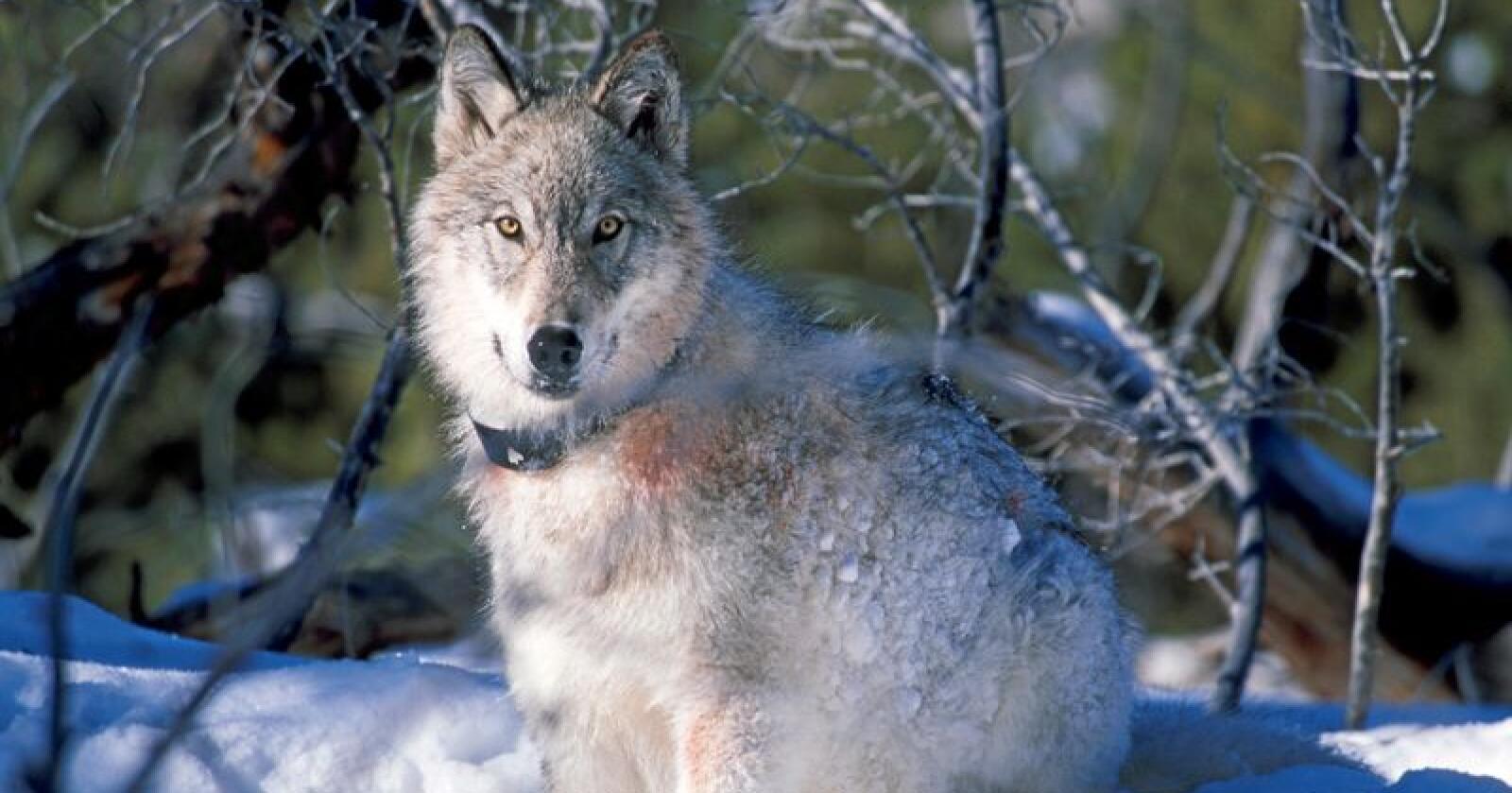 Regjeringen har bestilt en faglig utredning av ulvebestanden i Norge. Denne ulven er derimot fotografert i USA. Foto: William Campbell