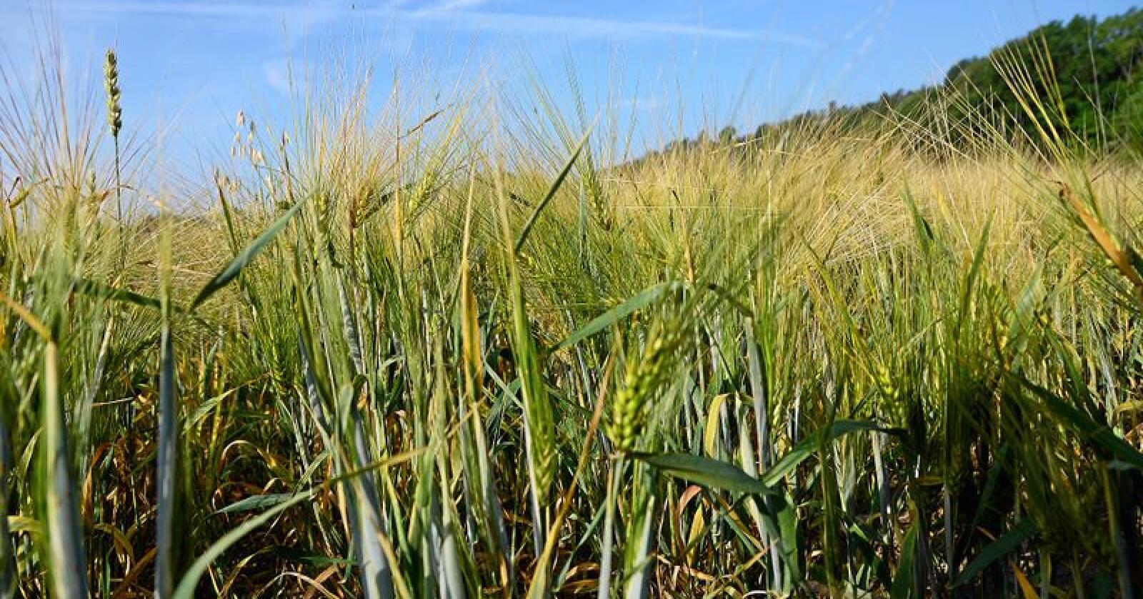 Årets tørke har ført til krise for mange bønder. Foto: Siri Juell Rasmussen