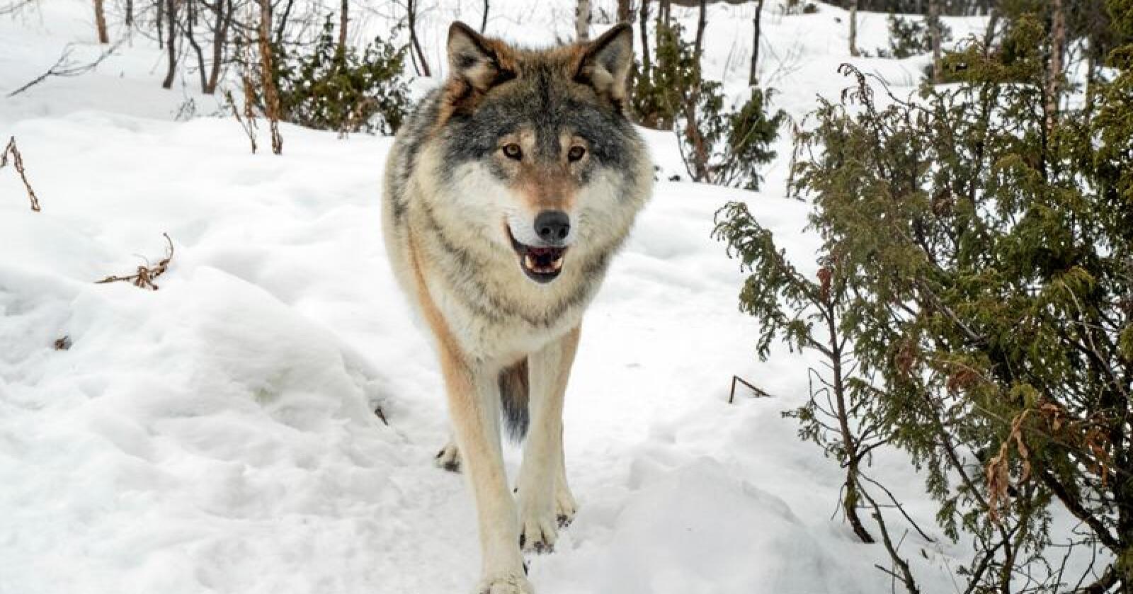Ulv: Denne ulven holder til på Langedrag. Foto: Heiko Junge / NTB scanpix