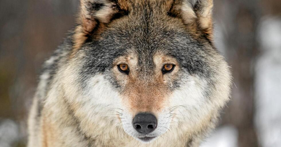 Regjeringen har vedtatt at 42 ulver kan felles i vinter. Foto: NTB scanpix