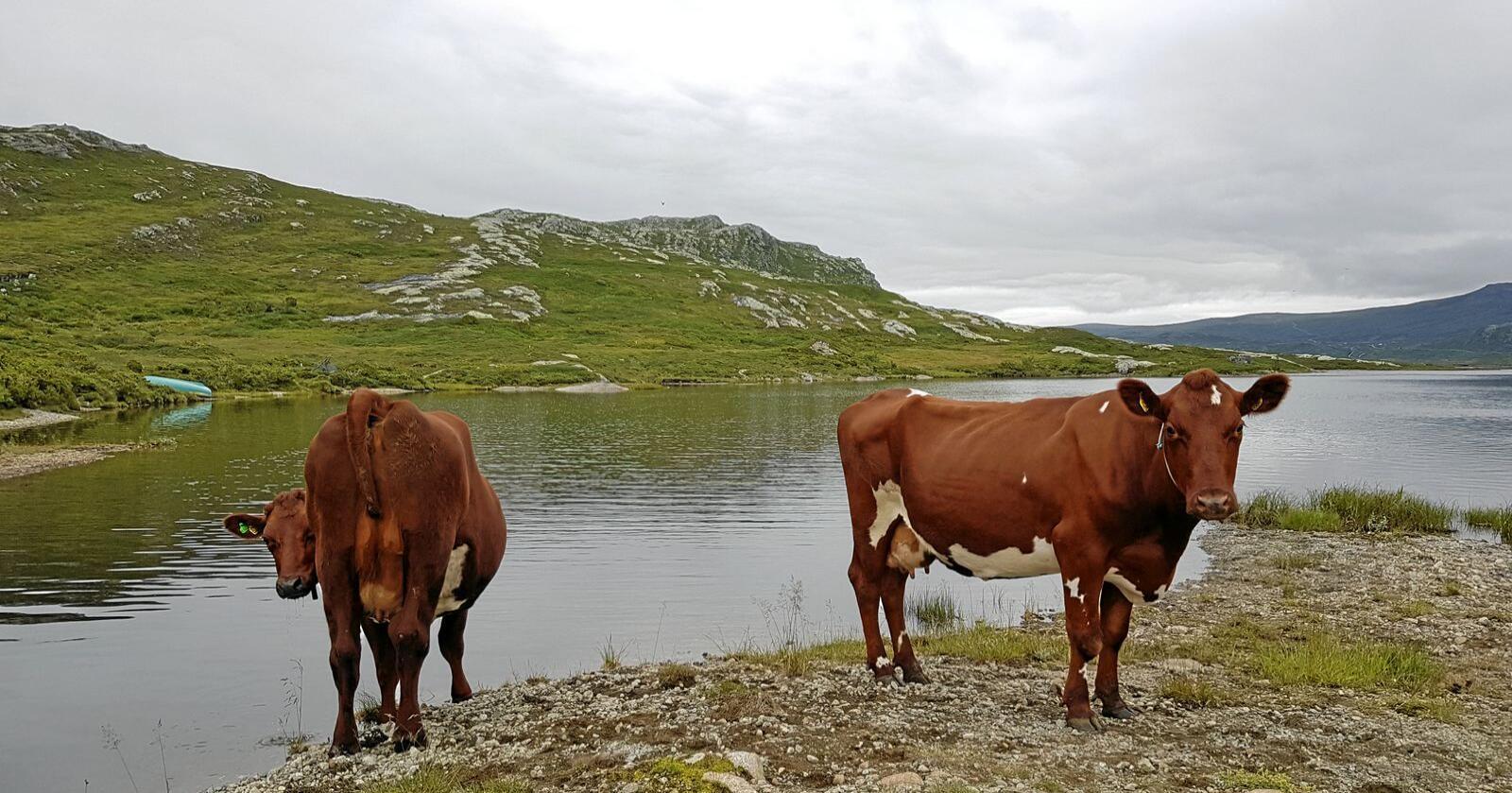 Kraftfôret skal kunne passe til kyr med opptill 9000 liter i ytelse. Foto: Hilde Lyseng Havro