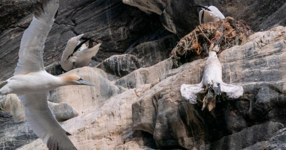 En død havsule henger i fiskegarn av plast på fuglefjellet på Runde. Statsminister Erna Solberg så denne fuglen fra båten på en tur rundt øya. Solberg er på valgkamp turné på Vestlandet.Foto: Heiko Junge / NTB scanpix