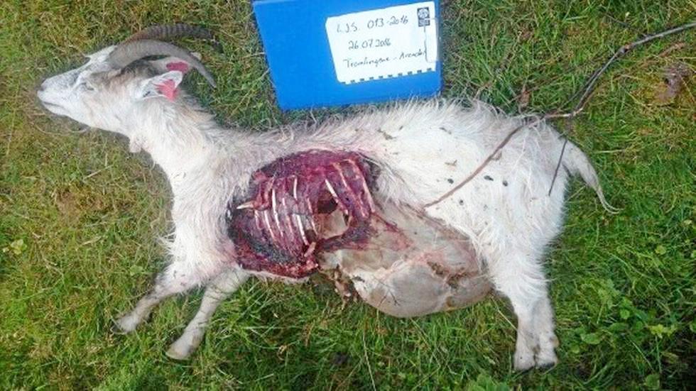 To geiter ble funnet drept på Tromøy tirsdag. Foto: Statens naturoppsyn