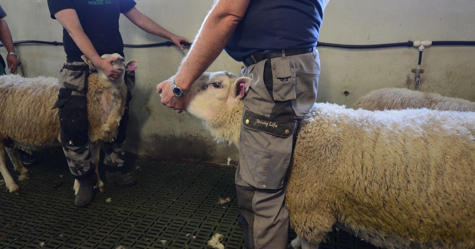 Norsk Landbruk var med da Mattilsynet tok Mædi-prøver i en sauebesetning i Verdal fjor sommer. Foto: Liv Jorunn D. Sagmo