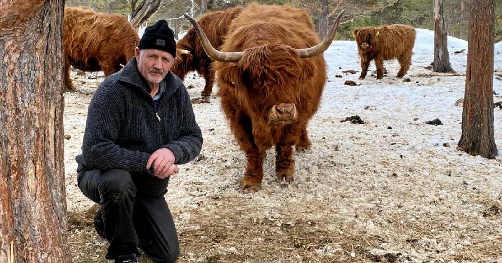 Frykter konsekvensene: Gårdbruker Erling Lusæter i Heidal har i over 30 år levert hundrevis av det skotske urfeet høylandsfe med store horn til slakt hos Nortura. Han frykter store fratrekk hos Nortura – samt mottaksstopp for høylandsfe hos Furuseth, får konsekvenser for utviklingen av gamle feraser med store horn. Alle foto: Bård Bårdløkken
