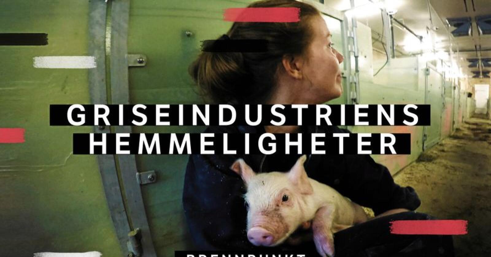 Økokrim skal undersøke om Griseindustriens hemmeligheter viser forhold som bør etterforskes. Foto: NRK
