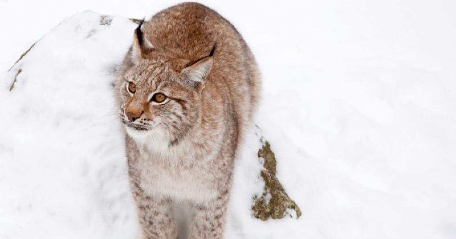 Jakta på gaupe vil bli gjenåpnet i regionen i sørøstlige deler av Norge lørdag. Foto: Colourbox