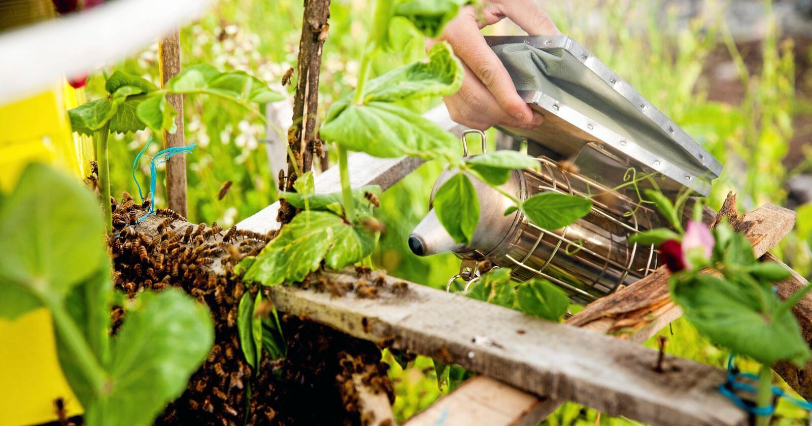 Birøkting: Hvordan kan prisen for økologisk honning bli så høy? Foto: Aleksander Solum / NTB scanpix