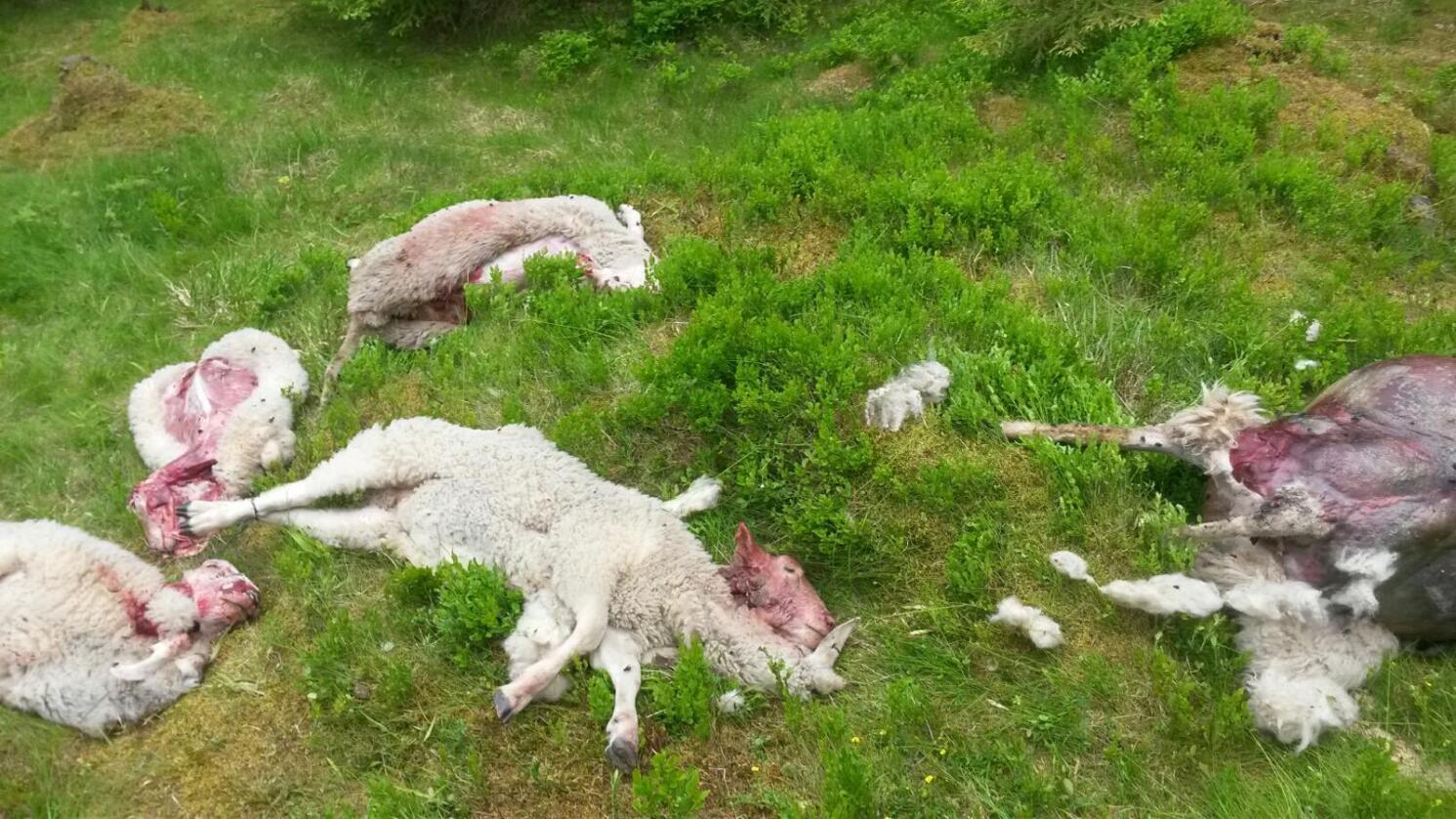 Tap: Sauenæringa i og rundt rovdyrområdene mister mange dyr til fredet rovvilt.