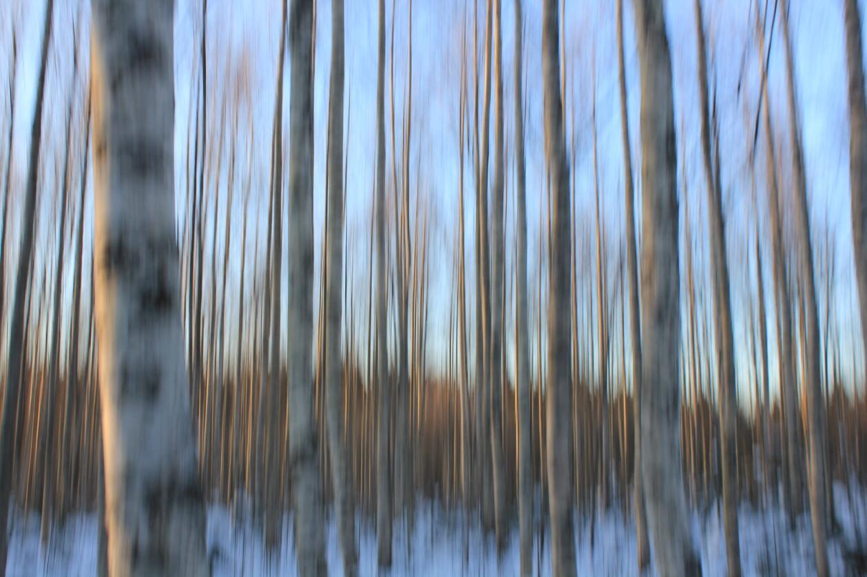 BJØRK: Ifølge Landsskogtakseringen er den norske lauvskogen i så kraftig vekst at det vil være mer lauvskog enn furuskog i Norge innen 2030. Foto: Øyvind Holmstad, Wikimedia Commons