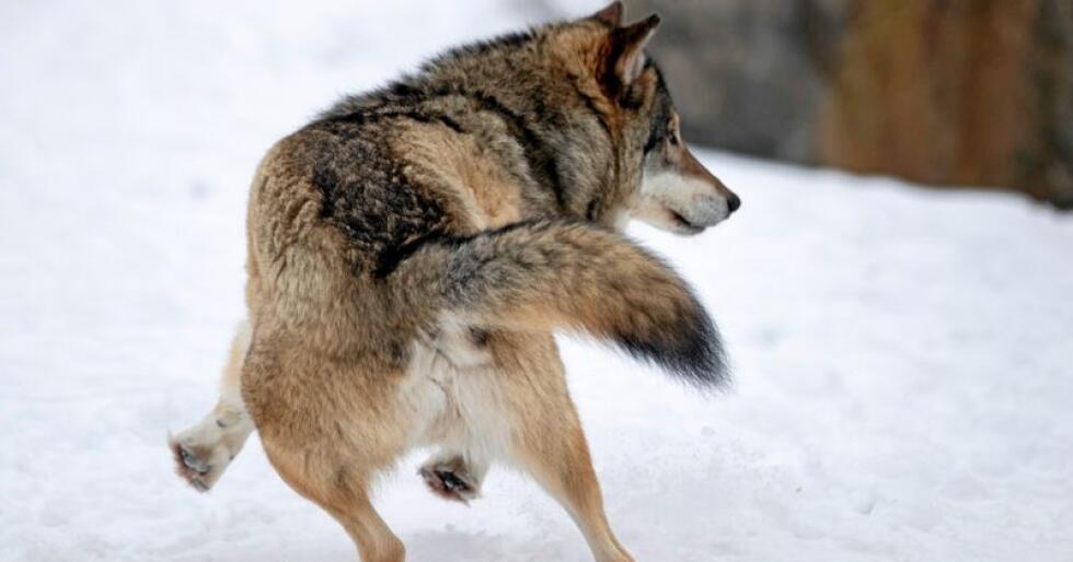 Sporing: Uten snø finner man ingen spor og uten spor finner man ikke DNA, skriver innsenderne.  Denne ulven holder til på Langedrag. Foto: Heiko Junge / NTB scanpix
