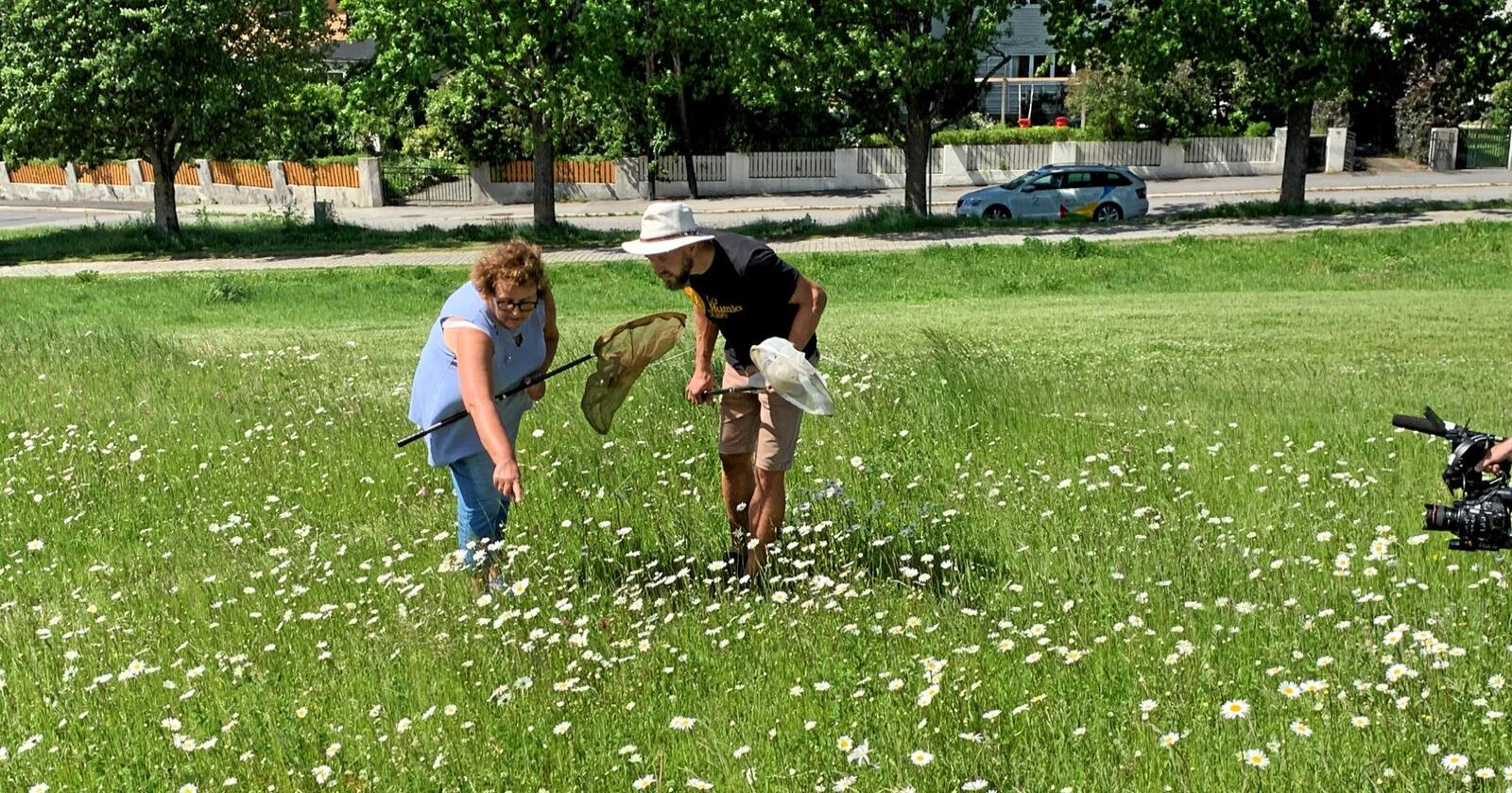 Forskingsprosjektet skal mellom anna sikre at humlene og andre pollinerande insekt får ein plass å vere. Å gå frå plen til blomstereng, er som å gå frå ørken til oase, blir det sagt. Foto: Andrea Sørøy