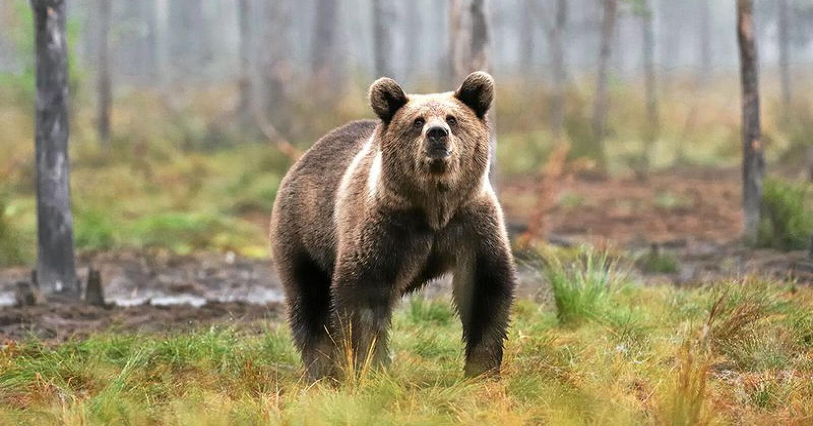 Fylkesmannen i Troms og Finnmark har gitt fellingstillatelse på en bjørn i Sør-Varanger. Foto: Erik Mandre / Mostphotos