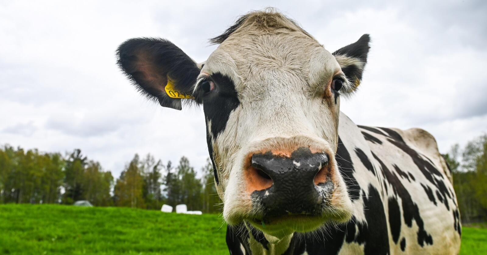 Norsk fôr: Tine har et overordnet mål om at melkekyr skal spise opp mot 100 prosent norskprodusert fôr.