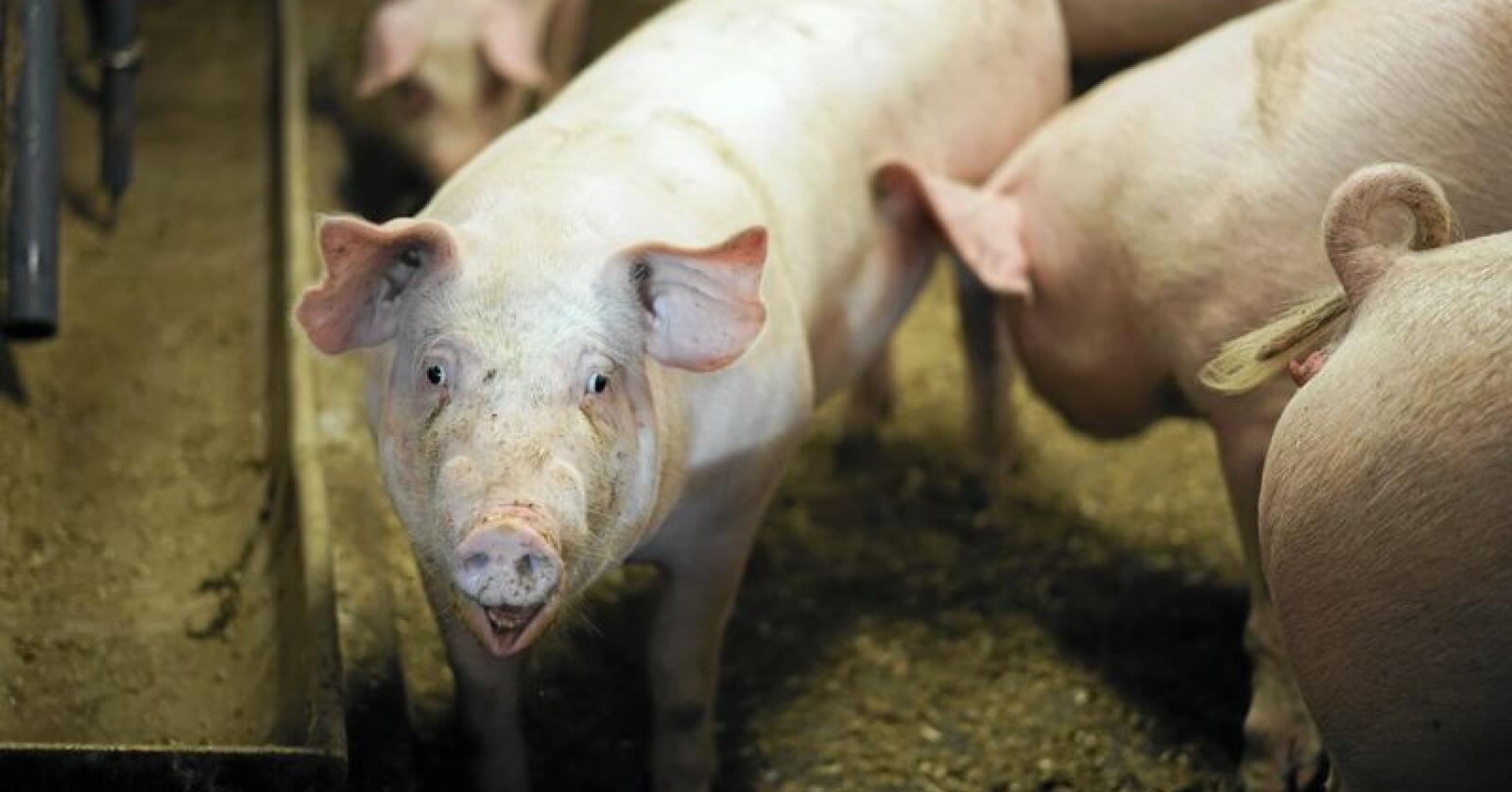 Lave svinepriser gir dårligutgangspunkt for svineprodusentene. Illustrasjonsfoto: Benjamin Hernes Vogl