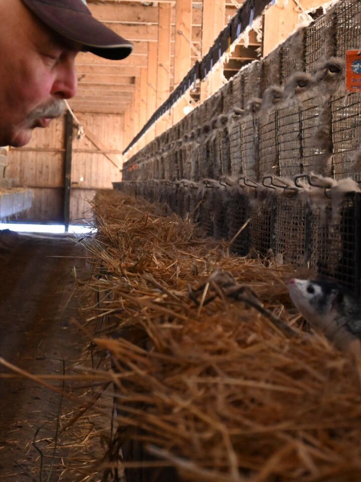 BEGGE VEIER: Det er rolig i minkfarmen, og dyra viser tydelig at de har tillitt til folk.