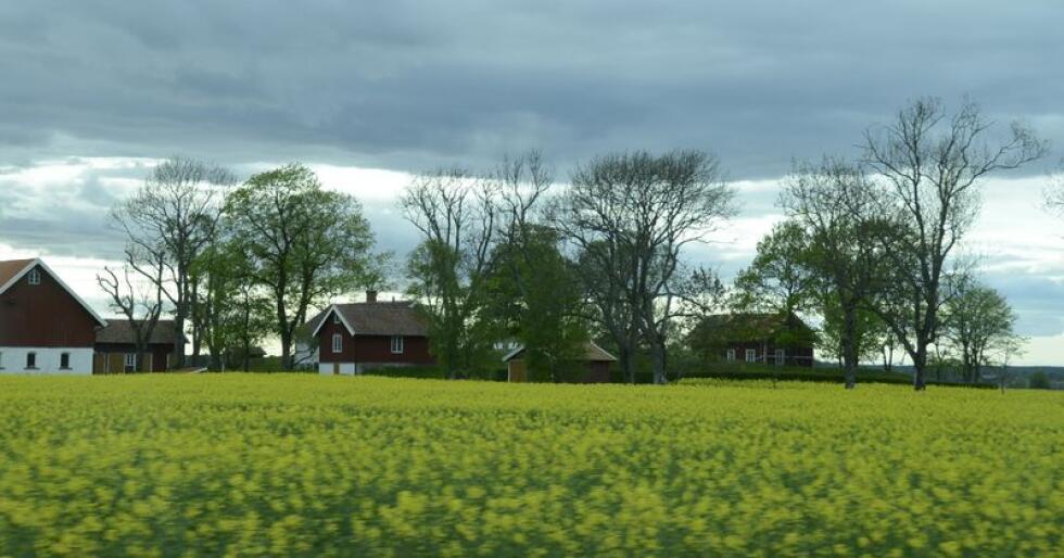 Sliter i Sverige: EU vil styrke bondens markedsmakt. Foto: Mariann Tvete