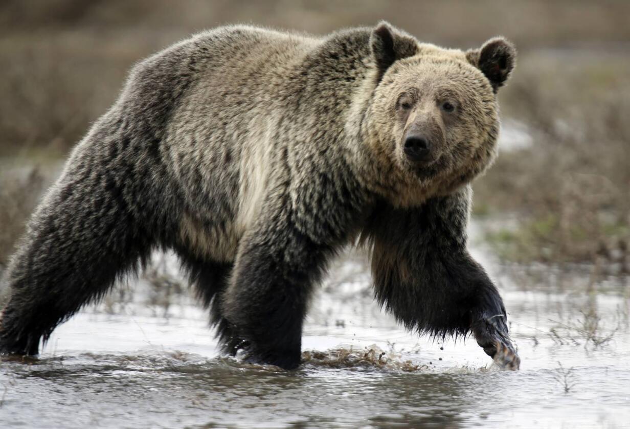 Den drektige kua ble revet i stykker av bjørnen. Arkivfoto: NTB scanpix