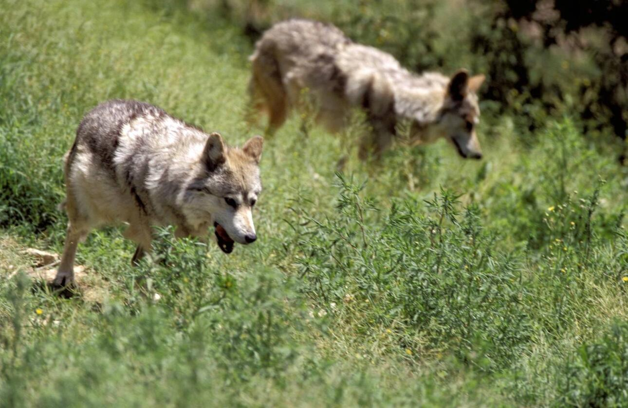 De siste dagene har det vært ulveangrep på sauebeitene både i Hedmark og Akershus. I Aurskog gikk to ulver til angrep poå en hund. Foto: Colourbox