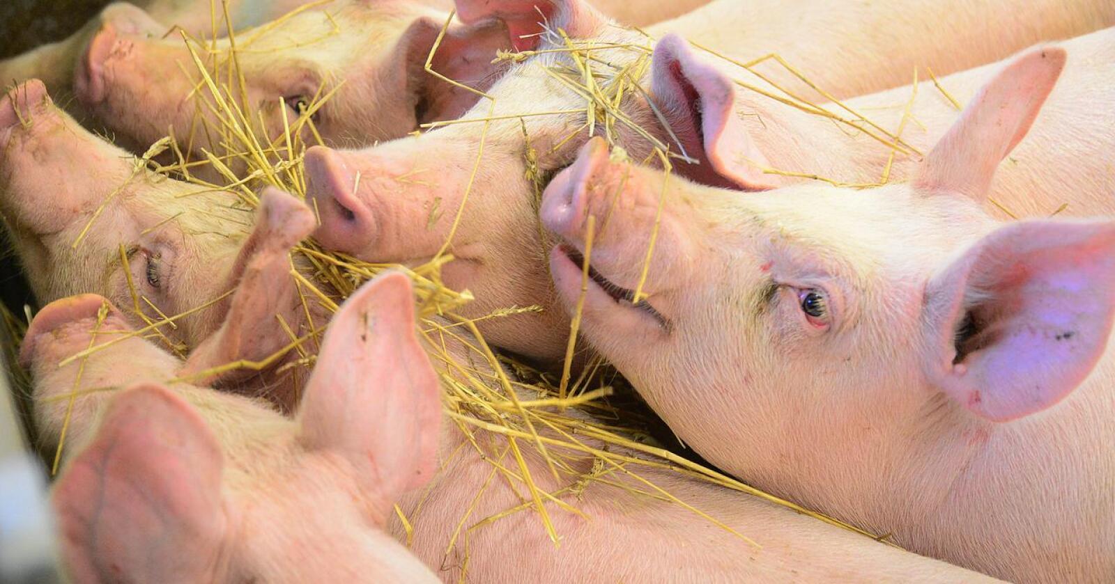 Dyrevelferd: Det føres ikke kontroll med alle matproduserende dyrehold i Norge. Mattilsynet har ikke ressurser til å dra på rutinetilsyn, skriver kronikkforfatterne. Illustrasjonsfoto: Siri Juell Rasmussen