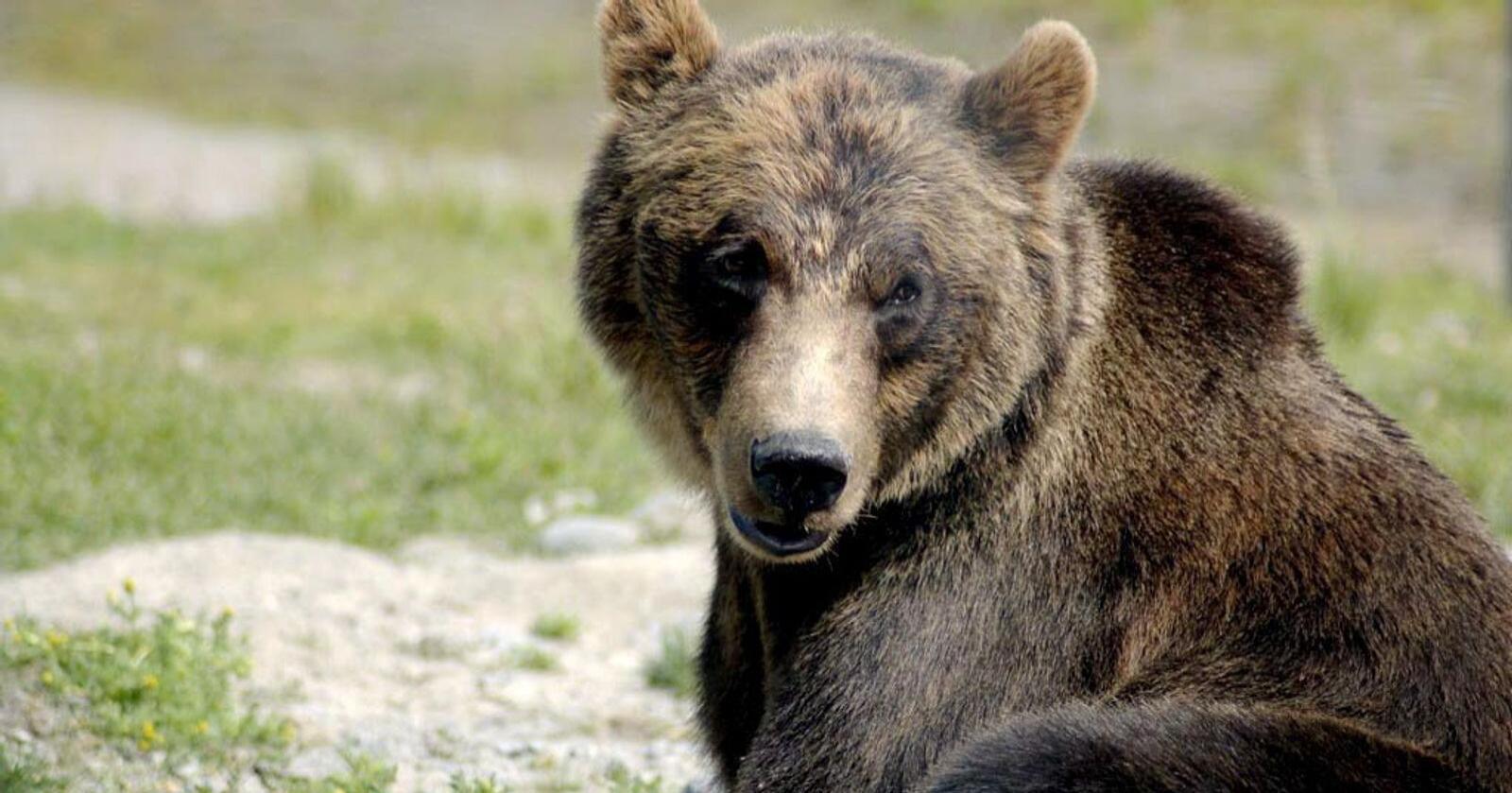 Det påviste tapet av sau til bjørn gikk ned fra 348 tilfeller i 2019 til 210 i 2020. Foto: Karen Laubenstein / Big Game Alaska/DLS