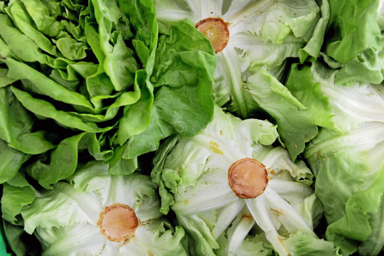 Energikrevende: Hydroponisk salat hadde hele 11 ganger høyere avling per arealenhet. Men energibehovet til oppvarming, nedkjøling og belysning var hele 82 ganger større. Foto: Frank May / NTB scanpix