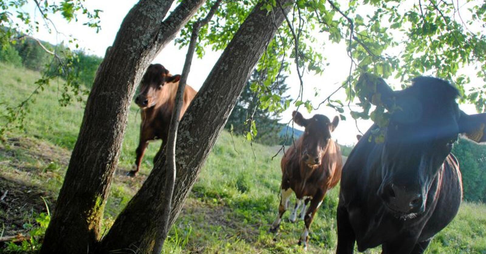 Professor Annette Cowie advarer mot kjøttproduksjon der buskapen holdes innendørs og fôres med korn.  Foto: Lars Bilit Hagen