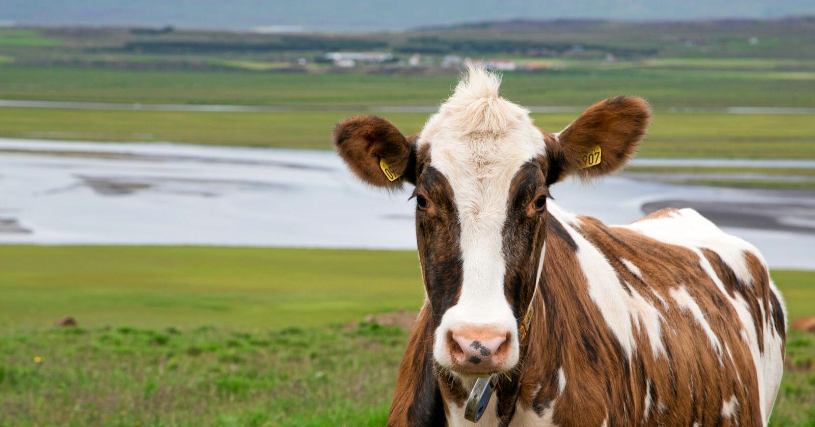 Kvoteprisar: Medan prisnivået på mjølkekvotar skapar debatt her i landet har Island gått frå eit vedtak om å avvikle kvotane til å innføre ein makspris på kvotesal i tre år. Foto: Landssamband kúabænda