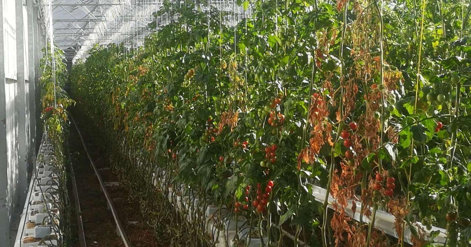 Planter med begynnende skade av tomatbrunflekkvirus.Foto: Chamber of Northrhine Westfali / Köln, Tyskland