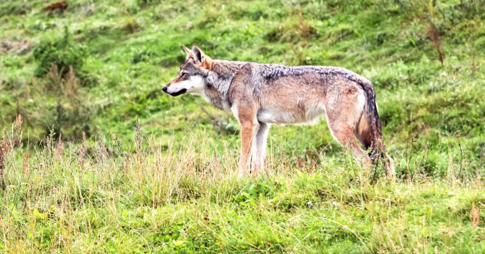 Ulven har det ikke godt i Norge!  Her er det ingen store sammenhengende villmarksområder som i for eksempel Russland og Canada, skriver Ole Kolkind. Foto: Colourbox