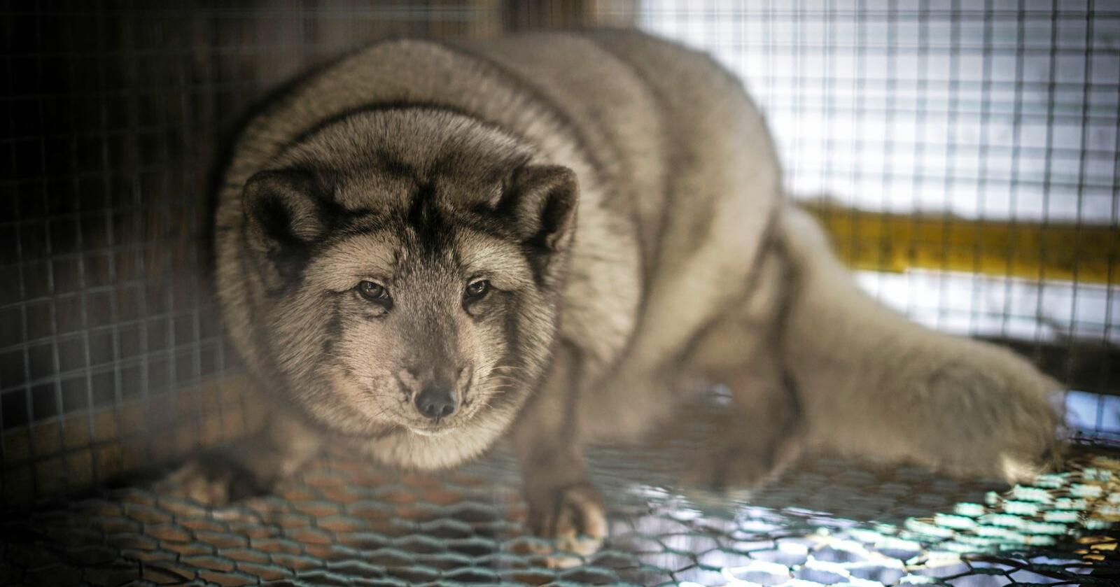 Norge har jobbet på overtid og halt ut pelsdyrenes lidelser altfor lenge, skriver Jenny Rolness i Dyrenes Rett. Foto: Benjamin Hernes Vogl