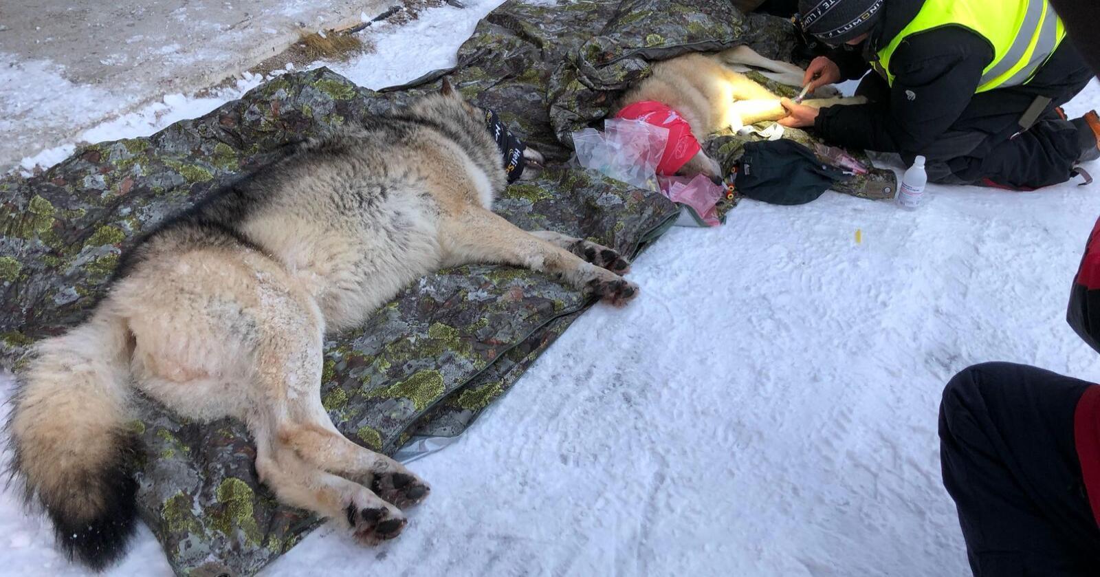 Tispa og hannen fra Deisjø-reviret ble flyttet søndag. Foto: Klima- og miljødepartementet