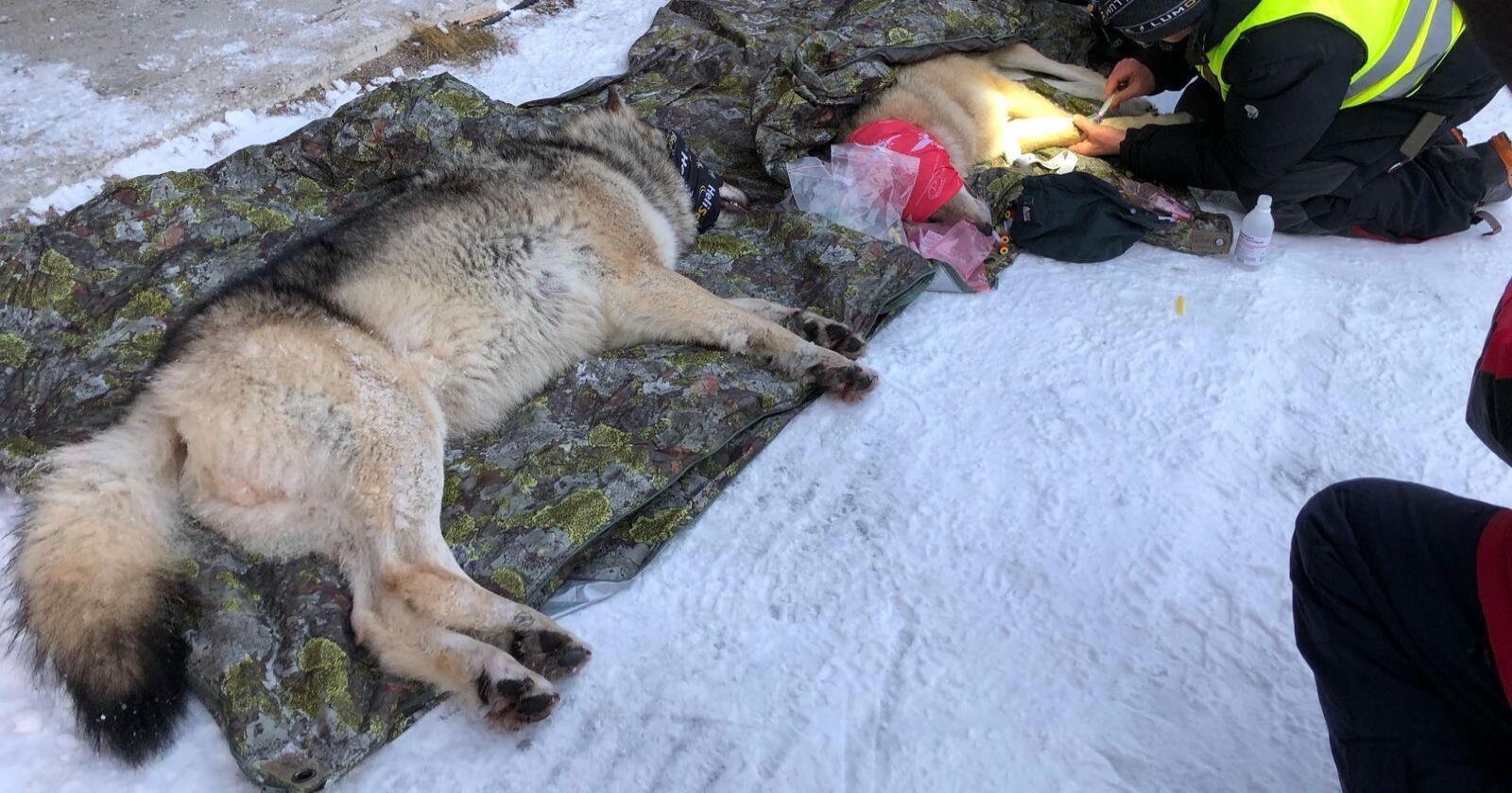 Her fra da det genetisk viktige ulveparet fra Deisjø-reviret ble lokalisert, bedøvet og flyttet til Østfold i januar i år. Foto: Klima- miljødepartementet