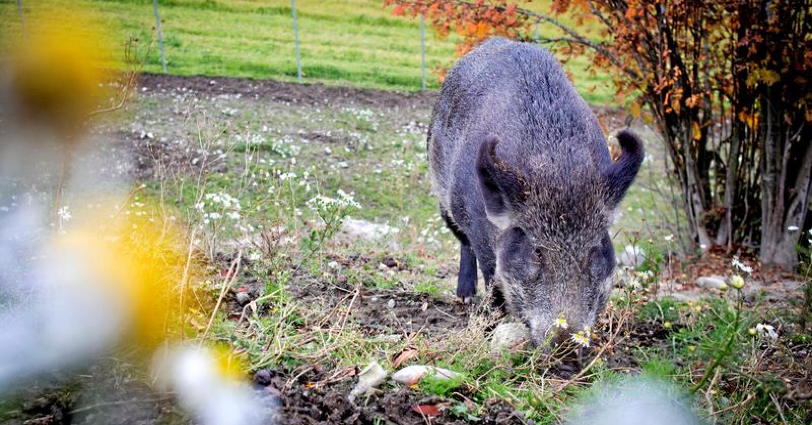 Nær deg: Villsvin oppsøker jorder og hager. Foto: Kyrre Lien / NTB scanpix