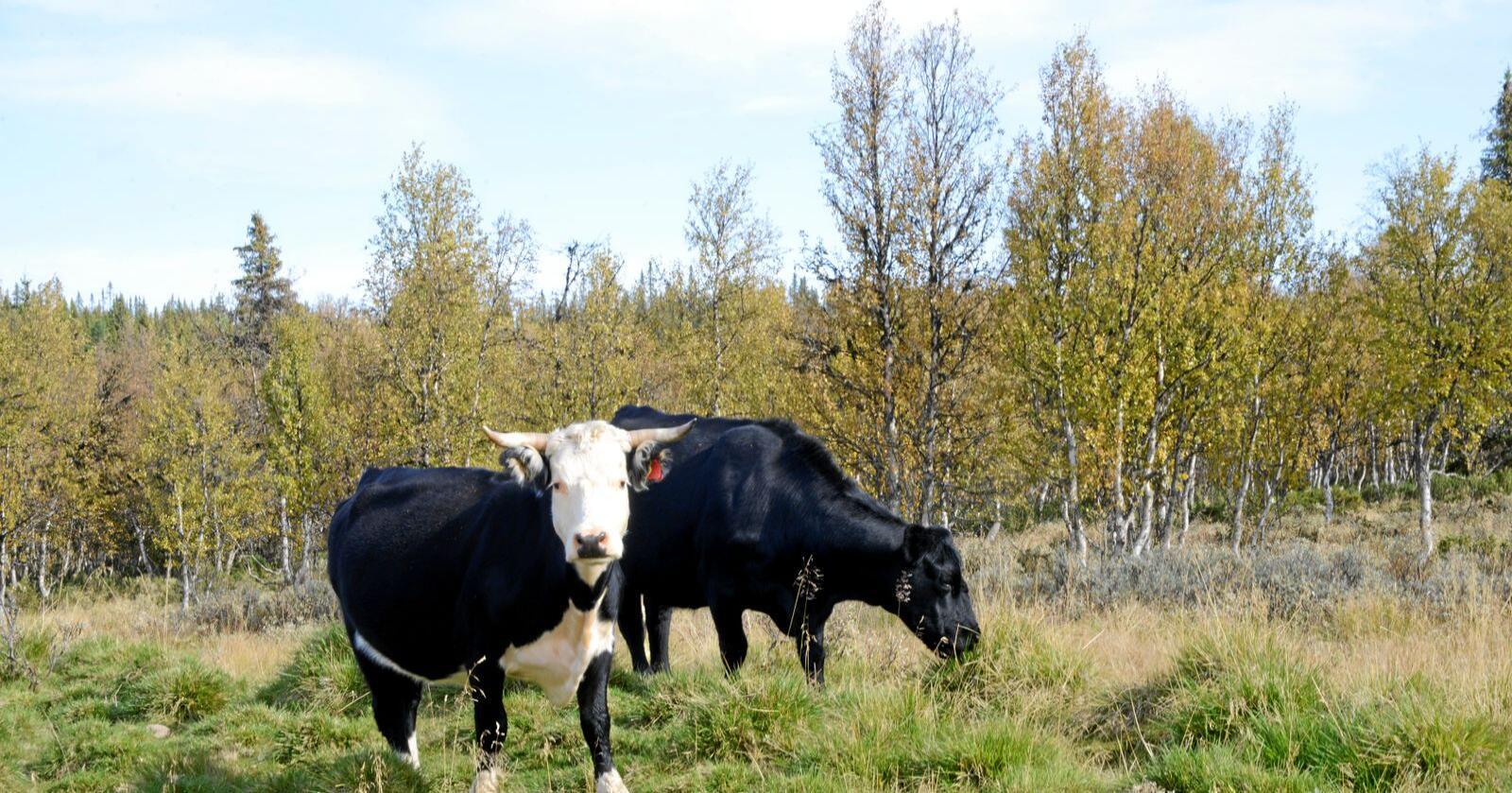 Dei siste 50 åra i Norge har utsleppet frå drøvtyggjarar gått jamnt nedover fordi dei har vorte færre, skriv Torstein Steine i innlegget. Foto: Mariann Tvete