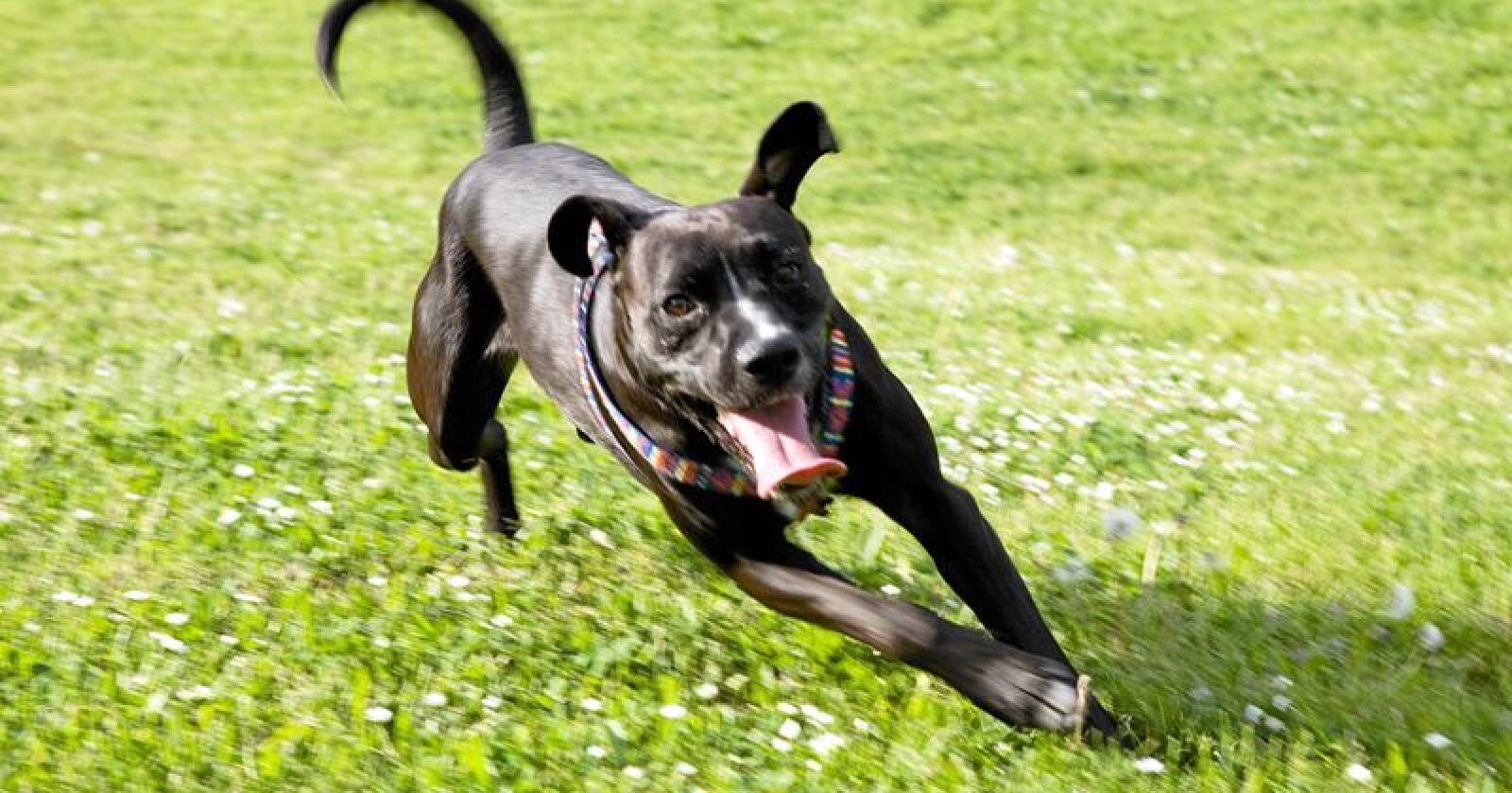 De to siste dagene har det kommet meldinger om seks nye hunder som er rammet av det pågående sykdomsutbruddet. Illustrasjonsfoto: Mostphotos