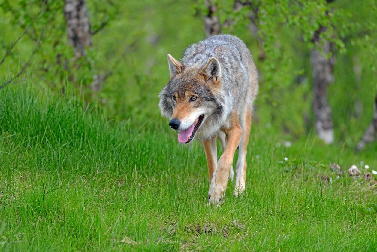 Jaktes på: I dag vart det dokumentert eit større angrep på sau i Hurdal, og fylkesmannen har gitt skadefellingsløyve på ein ulv. Foto: Colourbox