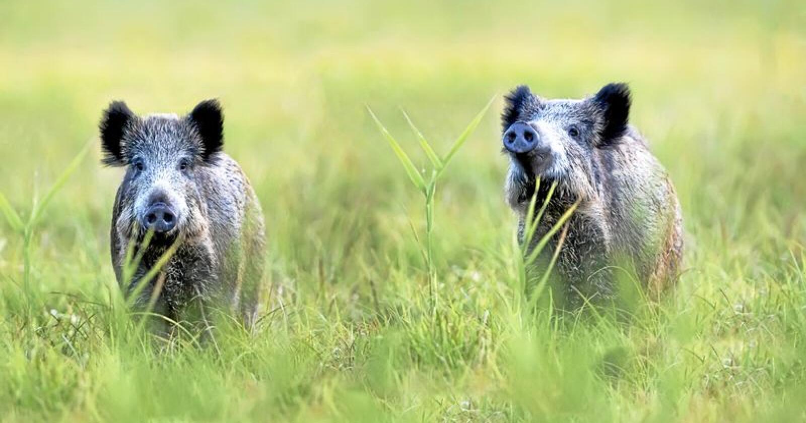 Rekordmange villsvin ble skutt i Sverige i fjor. Foto: Mostphotos