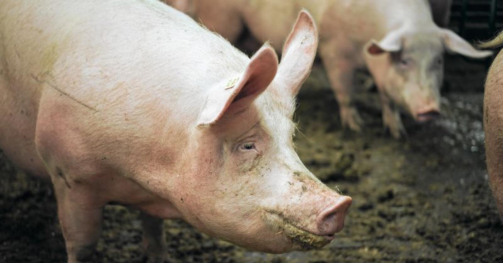 En svinebonde må forklare seg i retten i oktober. Arkivfoto: Benjamin Hernes Vogl
