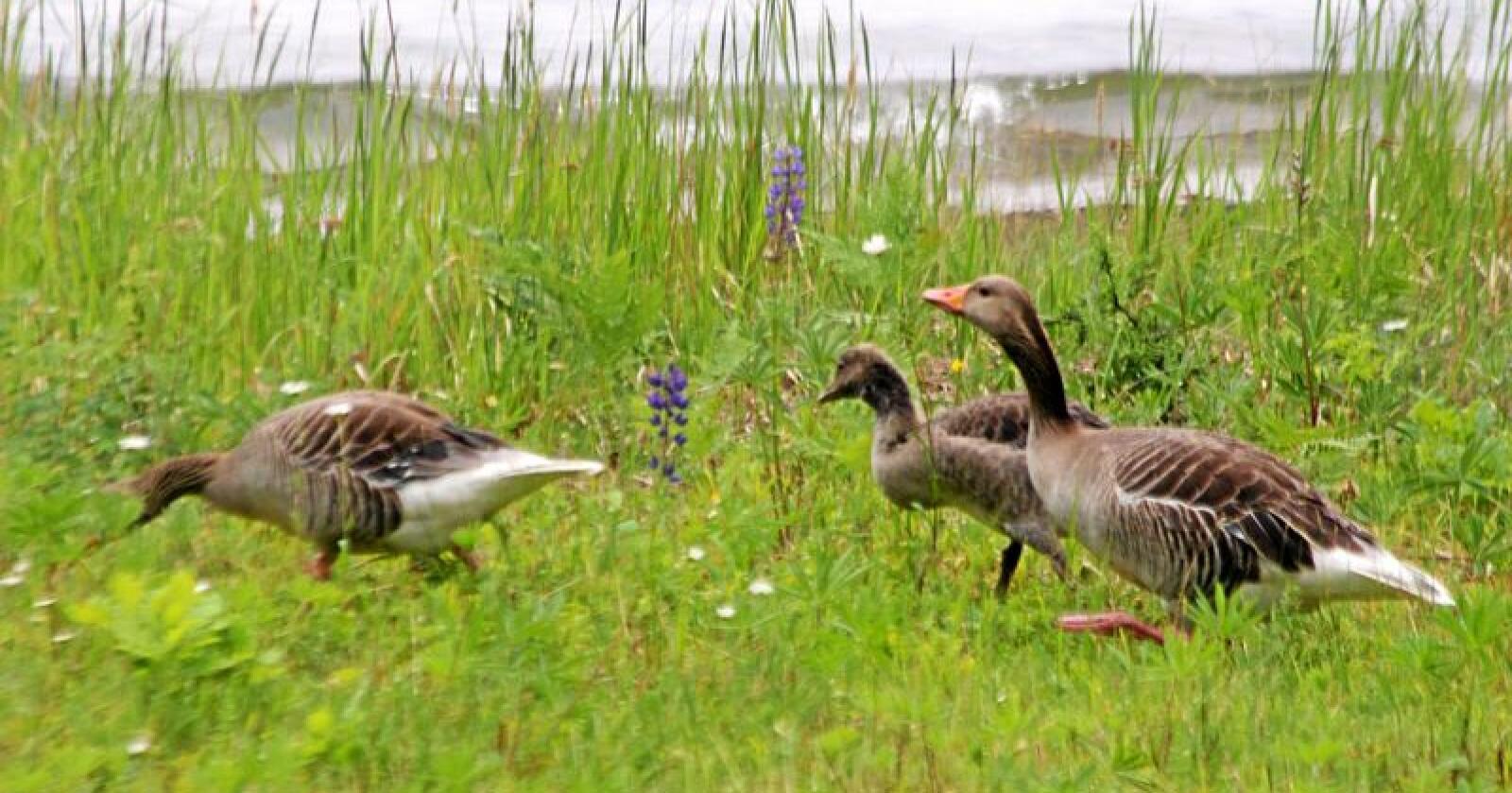 Vi må tillate normale bestander av arter, og grågåsa er en av få sjøfuglarter som fortsatt finnes i normale bestander, skriver Jenny Rolness. Foto: Jon Haaland