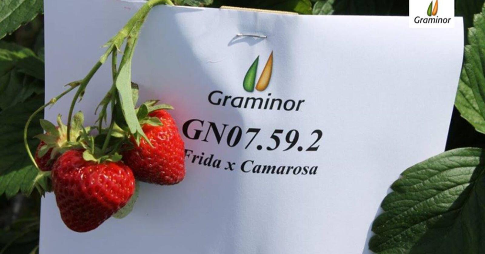 Graminor har brukt 12-13 år å utvikle den nye norske jordbærsorten, som foreløpig bare heter GN07.59.2. Foto: Graminor