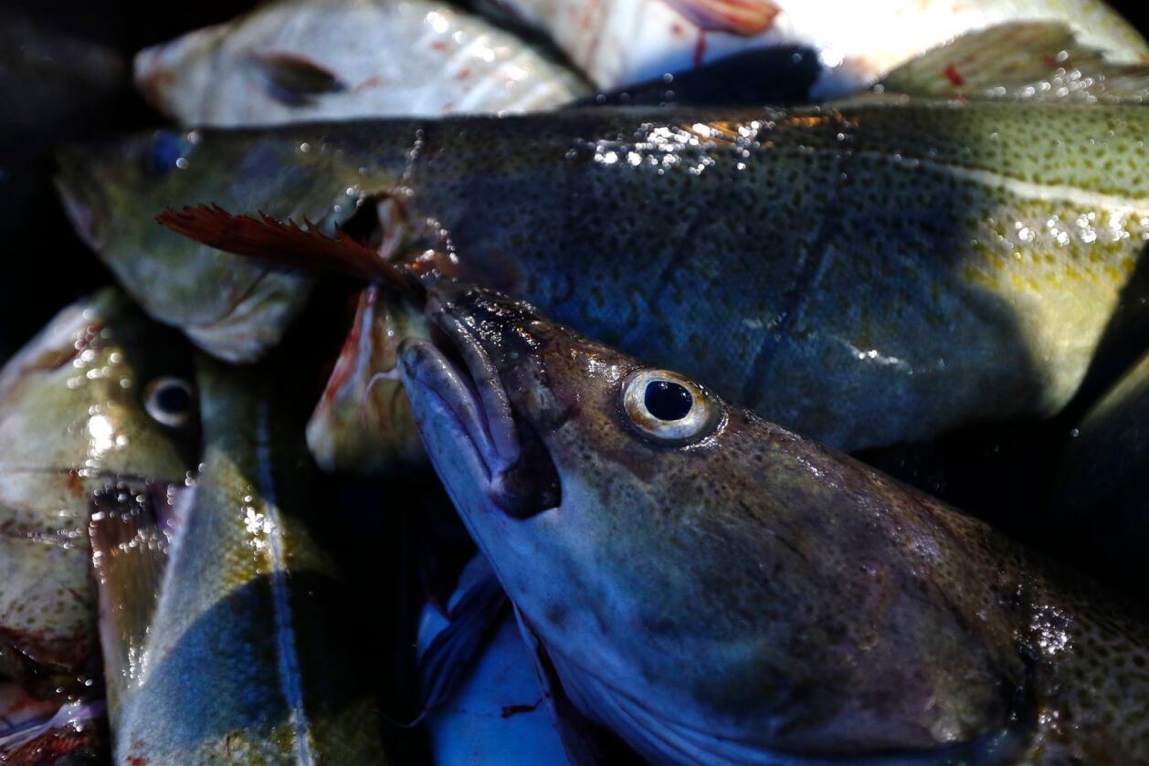 SENJA  20150115.Skipper Trond Dalgård (51) og Jan Gunnar Johansen fisker etter skrei på havet ved Gryllefjord på utsiden av Senja. Begge er oppvokst på øya og har havet som nærmeste nabo og arbeidsplass. Det årlige skreifiske starter i januar og varer til april. Fisken er etterspurt over hele verden og årlig eksporteres det torsk for 12 milliarder, hvorav  skreien utgjør en verdi på 7.2 milliarder. Det er fler enn fiskerne på Senja som er på jakt etter mat. Hvalen er på jakt etter sild og er et fantastisk skue i den storslåtte men ville naturen.Foto: Cornelius Poppe / NTB