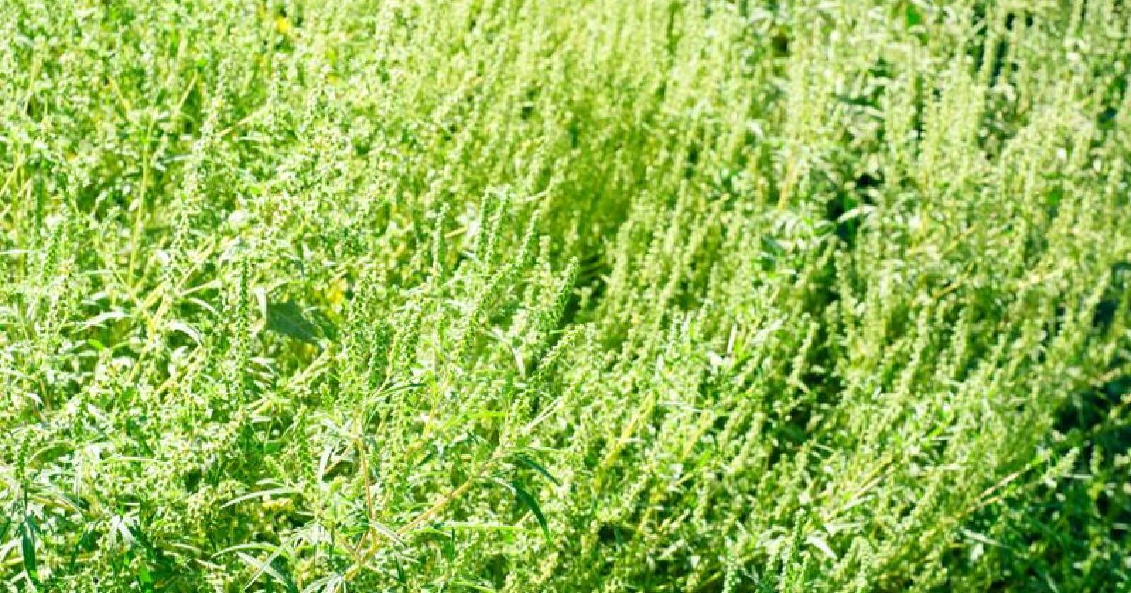 Ambrosia er blant de frøene som har blitt funnet. Foto: Colourbox
