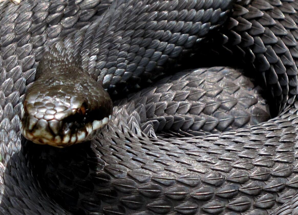 Det er ingen grunn til å tru det er hoggorm-år i år, seier slangeekspert. Illustrasjonsfoto: Paul Kleiven/NTB/NPK