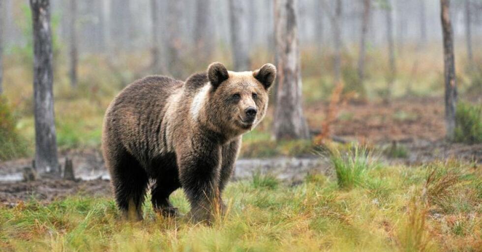 Det er gitt fellingstillatelse på to nye bjørner i Sør-Varanger kommune. Foto: Mostphotos