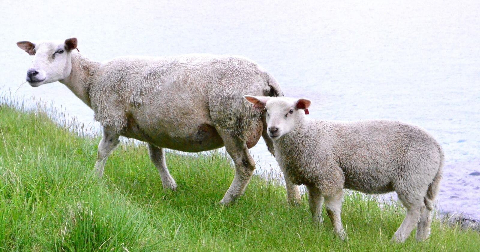 NLR søker bønder som dyrker grovfôr til melkekyr, ammekyr, sau eller geit, til å delta i prosjektet. Foto: Ingvild Lauvland Høie
