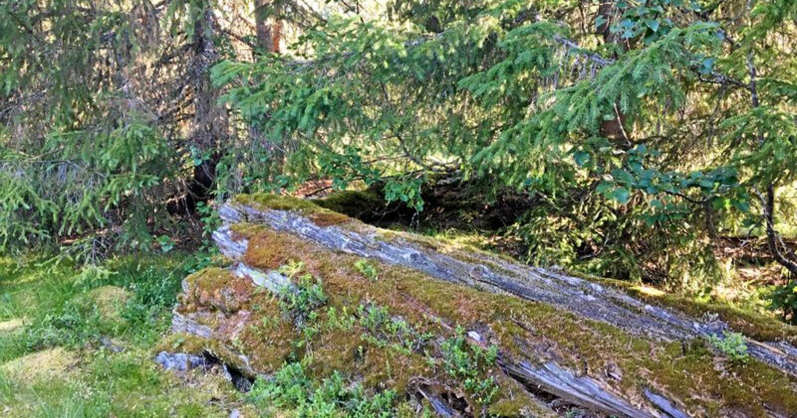Urskog? Nei, dette er et næringsbygg, på Kjelvollen i Roltdalen. Foto: Hans Bårdsgård